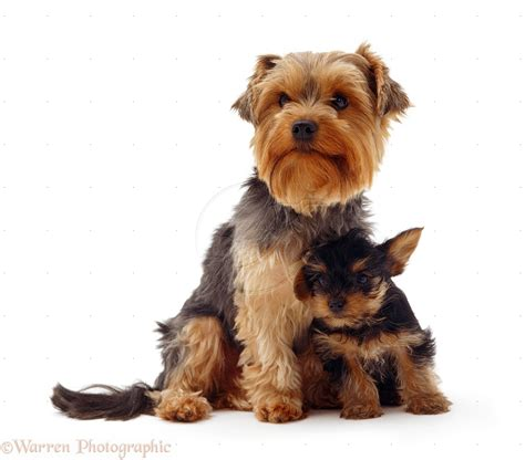 how to paper a yorkie puppy animals terrier 1238x1059px high definition wall paper