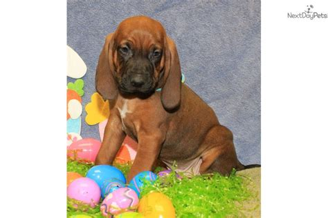 redbone coonhound puppies for sale blue boy redbone coonhound puppy for sale near st louis missouri e937cab0 1a31