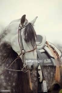 cavallo pomellato cavallo pomellato foto e immagini stock getty images
