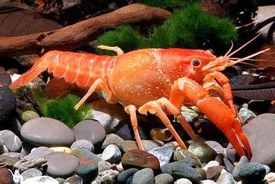 Makanan Ikan Hias Lobster cara memelihara lobster hias drh fira sovica