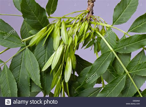 fruit of ash tree seeds or fruit of an ash tree fraxinus excelsior known