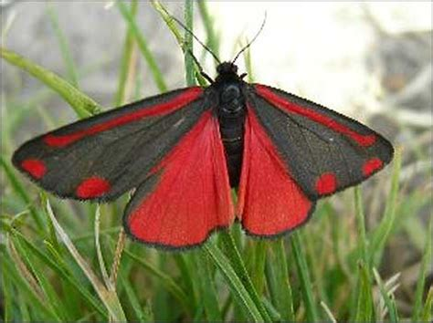 red and black butterflies can anyone name this butterfly sheffield forum