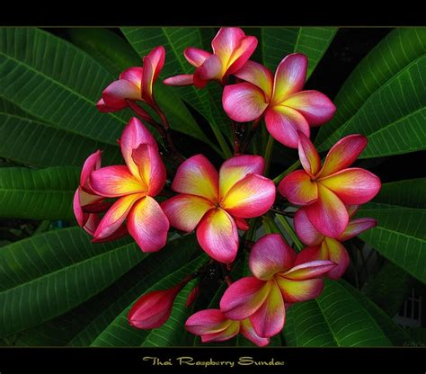 Frangipani A Novel 120 best frangipani varieties images on