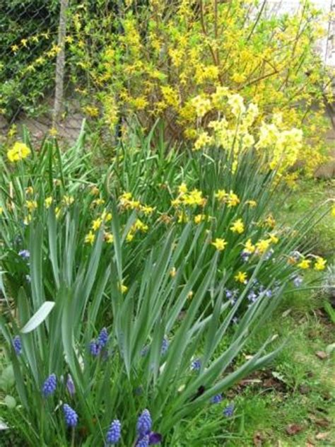 fiori bulbi primaverili i bulbi a fioritura primaverile arredare la casa con