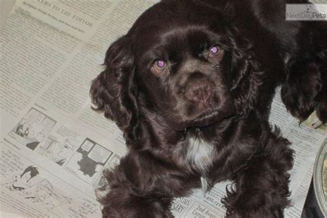 cocker spaniel puppies for sale in va cocker spaniel for sale for 350 near eastern panhandle west virginia 48316b25 aa11