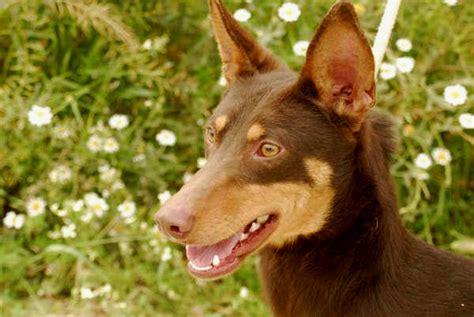 golden retriever en español podenco orito espa 241 ol sociedad canina costa sol