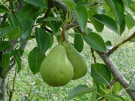 when do pear trees produce fruit pears growing pretty green things
