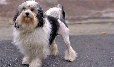 lowchen puppies lowchen breed information