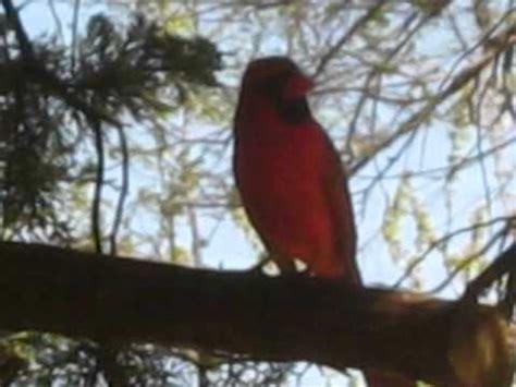 How To Make A Bird Call Out Of Paper - bird call series cardinal