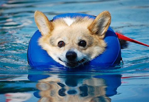 corgi puppies san diego san diego community news swim lessons for the days of summer