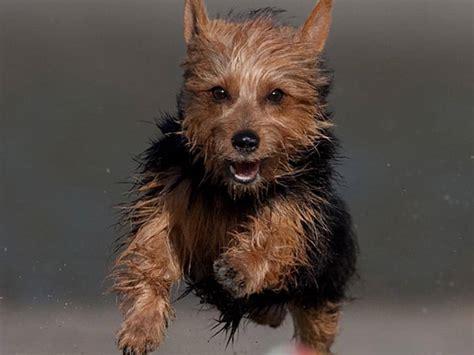 australian terrier vs yorkie australian silky terrier razas de perros mascotas