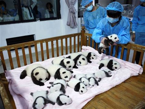 Panda Crib Bedding Panda 14 Babies Cuddle In A Crib Today
