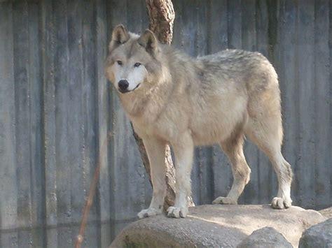 alaskan wolf alaskan wolf by xxsilent wolfxx on deviantart