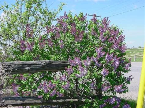 lilac tree information lilac bush pictures images of licac trees