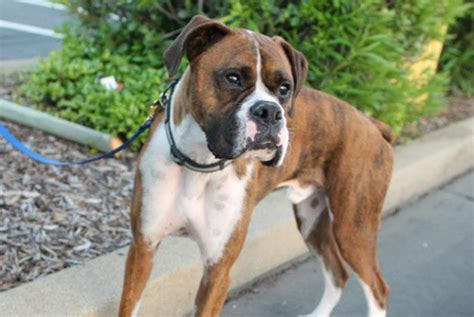 boxer puppies washington state coast boxer rescue seeking forever homes for homeless