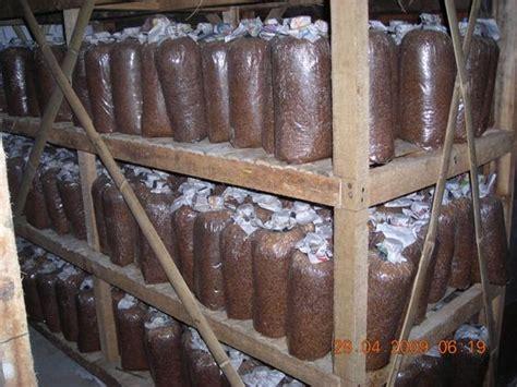 Bibit Jamur Tiram Area jual serbuk kayu tips dan trik budidaya jamur tiram putih 5