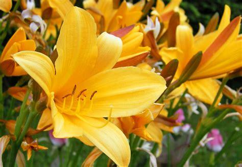 di giorno fiori scelte per te giardino fiore di giorno hemerocallis