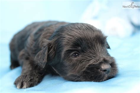yorkie poo for sale in greensboro nc royal yorkiepoo yorkie poo puppy for sale near greensboro carolina