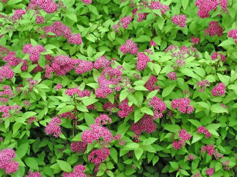 shrub with pink flowers flowering shrubs garden wedding expert
