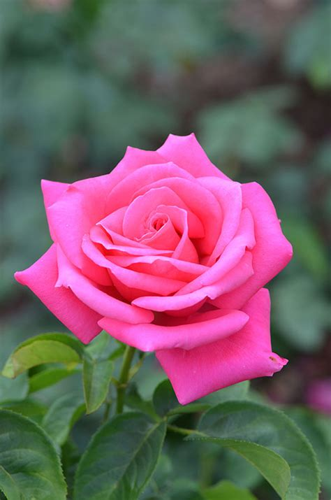 what do american in california rose for new year world plants