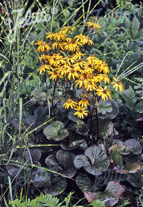 jelitto perennial seed ligularia dentata midnight lady portion s