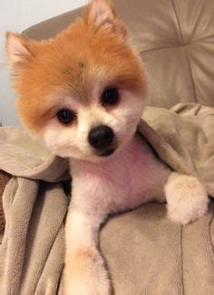 can i shave my pomeranian 1000 images about jak b on pomeranians pomeranian haircut and closet