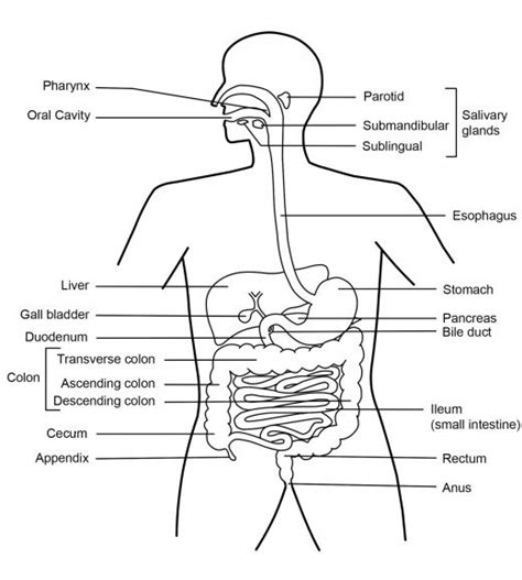 digestive system diagram a labelled diagram of the digestive system new calendar