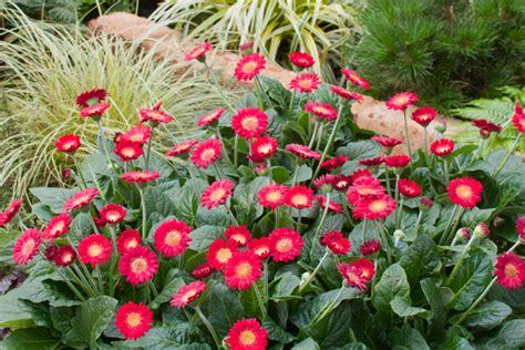 Patio Pots Garvinea Gerbera The Power Flowers Kernock Park Plants