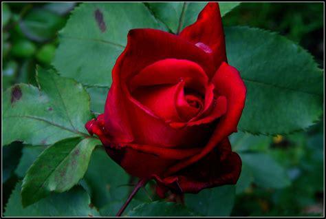 www rose roses battered but beautiful swittersb exploring
