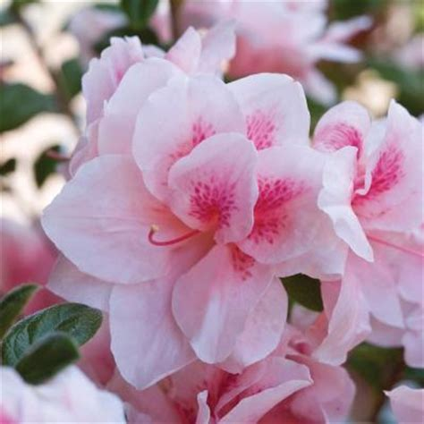 encore azalea 1 gal autumn chiffon 80401 the home depot