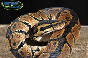Cinnamon ball pythons for sale at reptiles by mack