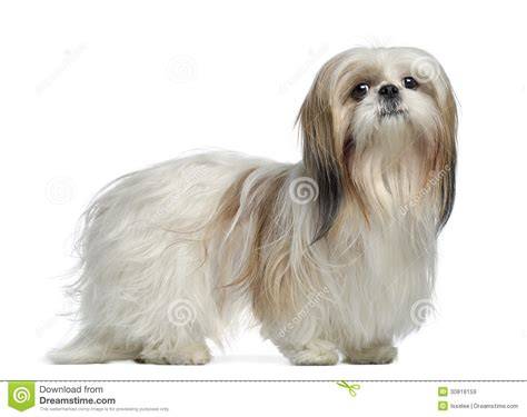 2 year shih tzu side view of a shih tzu 2 years standing royalty free stock images image 30818159
