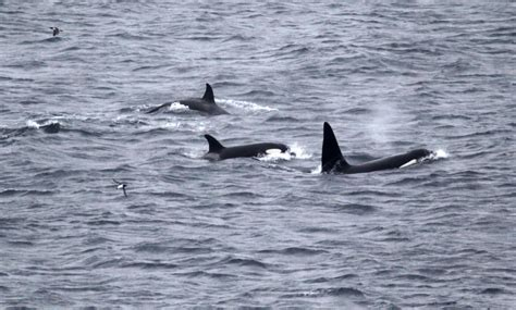 killer whales with sea pup image gallery orca whale uk