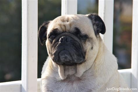 large pug breed pug puppies breed breeds picture