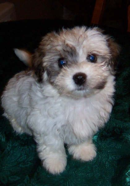 havanese puppies nc for sale 1000 ideas about havanese puppies for sale on havanese puppies