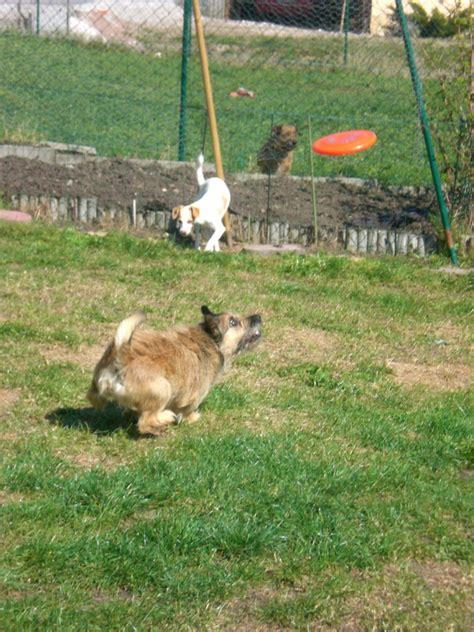 9285 Lucky Maxy elias border terrier cairn terrier dackel