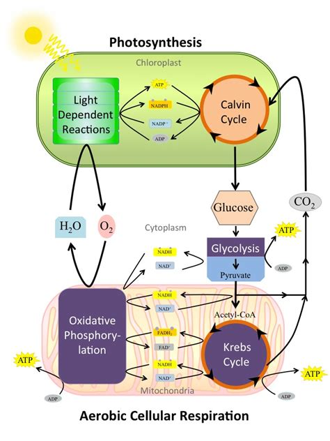cell energy photosynthesis and respiration section 6 1 answers codependency of photosynthesis and aerobic cellular by