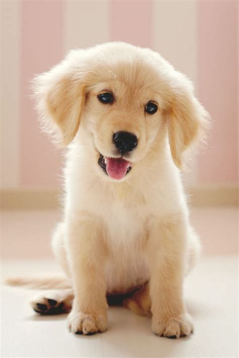 site golden retriever golden retriever clowny