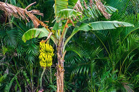 bananas on tree banana tree pictures images and stock photos istock