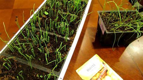 seed starting onions  leeks indoors save money