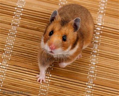 Makanan Hamster Golden Hamster hamsters for sale in oug