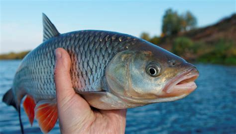 scow meaning in hindi iconic indian fish on verge of extinction study