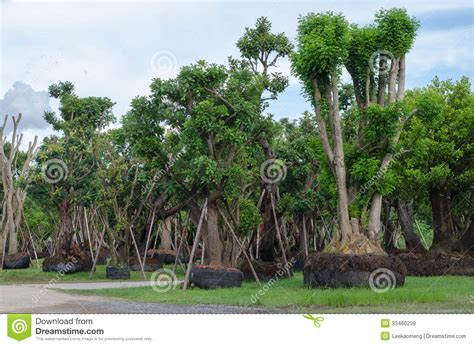 big trees for sale stock image image of commercial