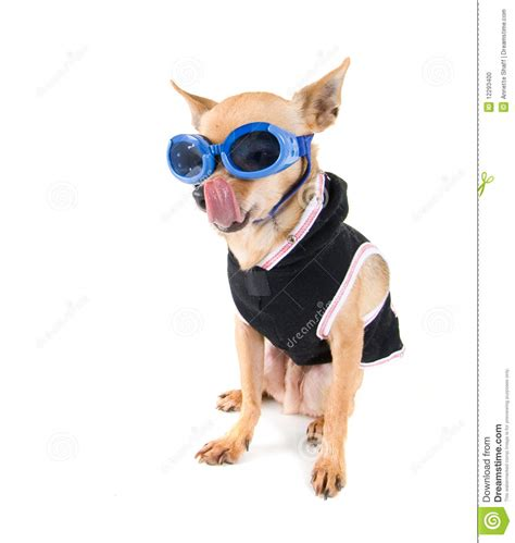shih tzu goggles goggle stock photo image 12293400