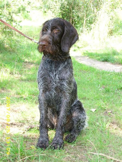 wirehaired griffon puppies wirehaired pointing griffon breed information history health pictures and more