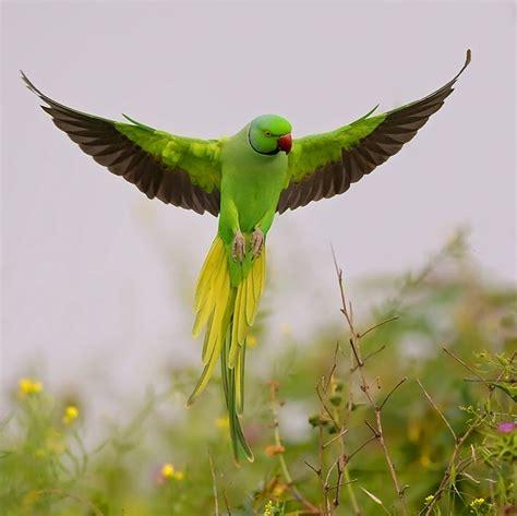 indian ringneck parrot parakeet breeding description habit food medicine and video