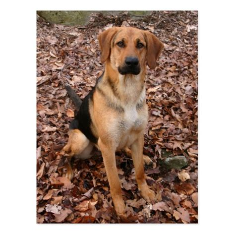 shepherd hound mix puppies coonhound and german shepherd mix pictures breeds picture