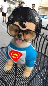 Cute Halloween Costumes Puppies Jiff Dog Won Halloween Huffpost