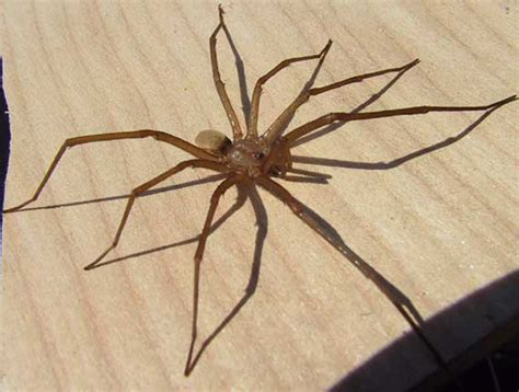 southern house spider crevice weaver spider archives what s that bug