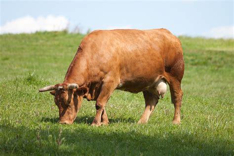 minicuentos de vacas y rubia gallega wikipedia la enciclopedia libre